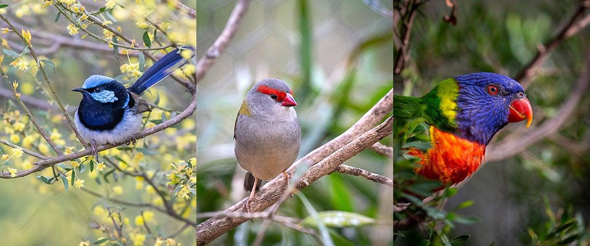bird watching dandenong ranges